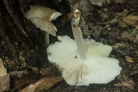 Megacollybia rodmani. Gills. By Richard Jacob