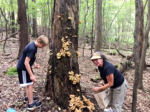 Collecting some chicken of the woods. By Richard Jacob
