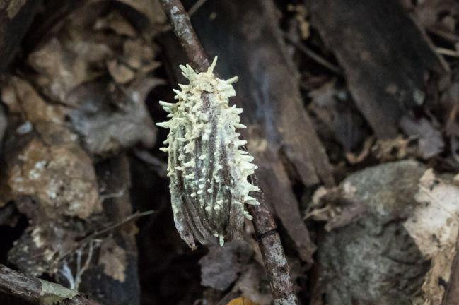 akanthomyces-aculeatus-by-richard-jacob