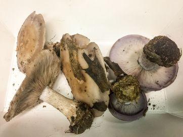 clitocybe-nuda-by-richard-jacob