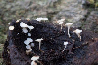 hymenoscyphus-fructigenus-4089-by-richard-jacob