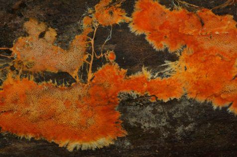 phanerochaete-chrysorhiza-by-john-plischke-iii