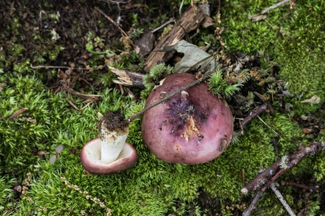 Russula vinacea. By Richard Jacob