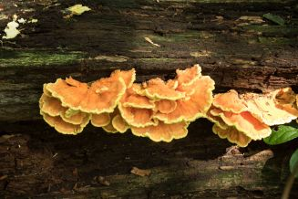Laetiporus sulphureus. Along the log. By Richard Jacob