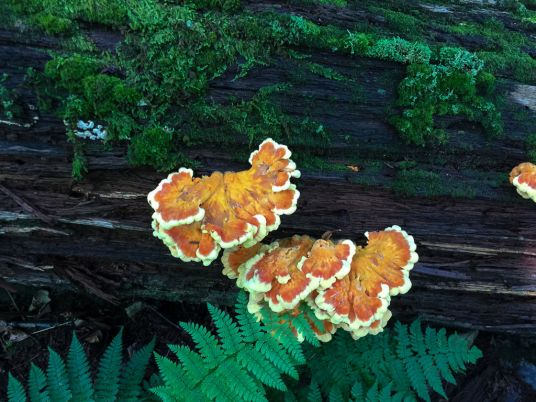 Laetiporus sulphureus. On log 2. By Richard Jacob