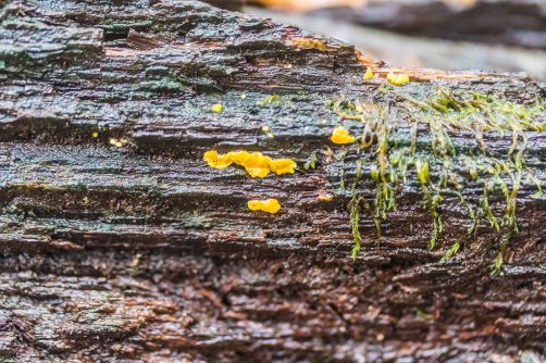 Bisporella citrina. By Richard Jacob