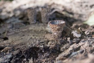 Cyathus striatus. By Richard Jacob-2
