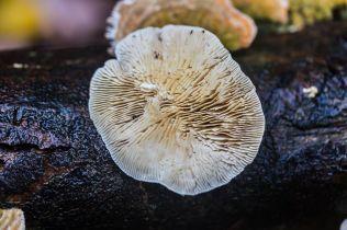 Lenzites betulina. By Richard Jacob-2