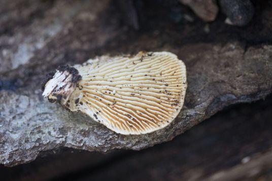 Lenzites betulina. Long -gills- By Richard Jacob