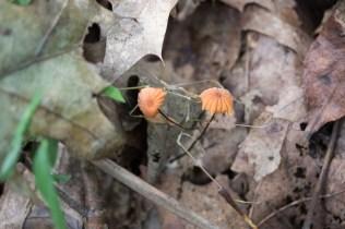 Marasmius siccus