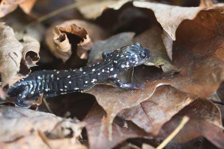 Plethodon glutinosus. Northern Slimy Salamander By Richard Jacob