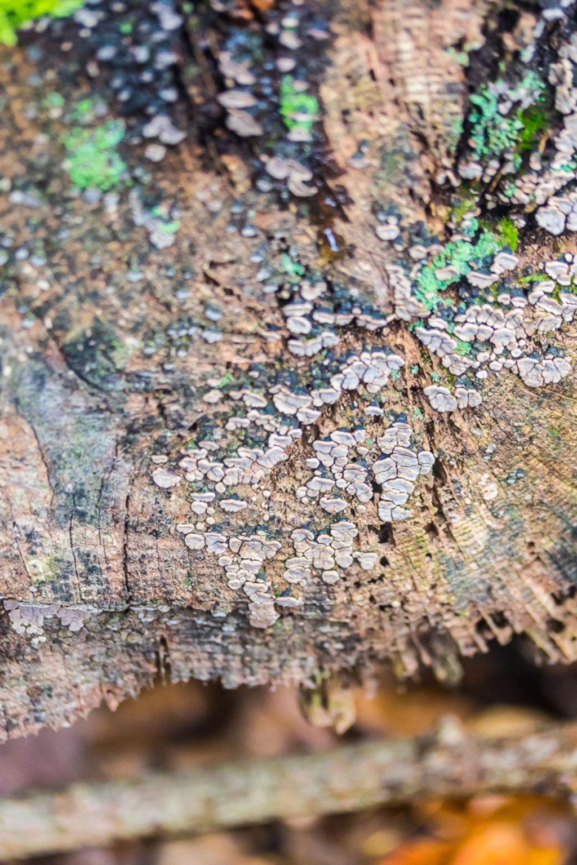 Xylobolus frustulatus. By Richard Jacob