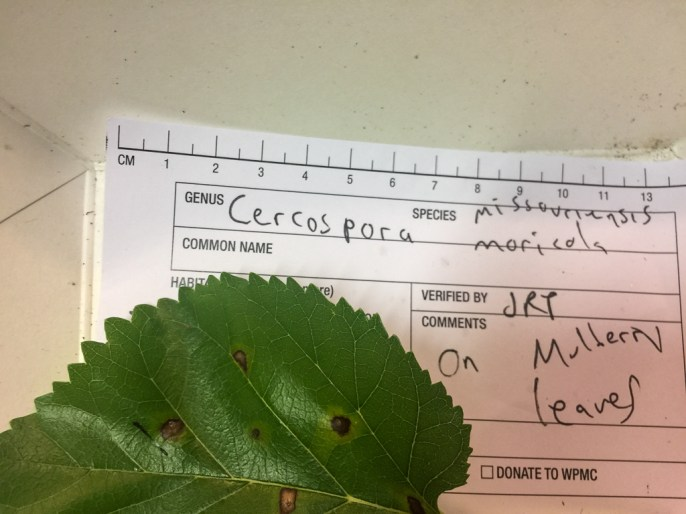 Cercospora moricola. By Richard Jacob
