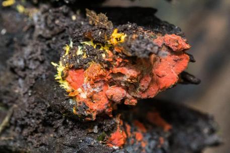 Phanerochaete chrysorhiza. By Richard Jacob