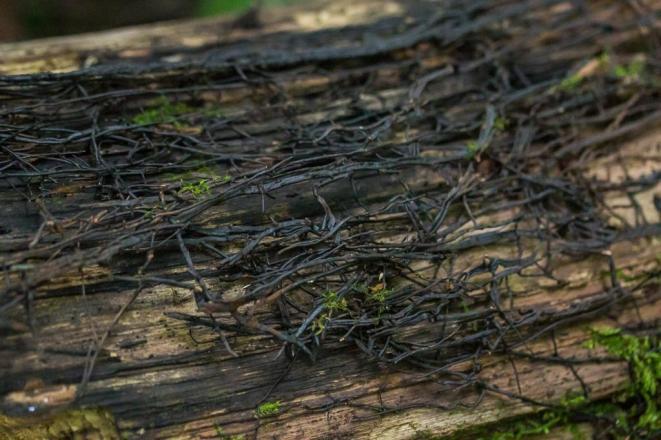 Armillaria sp,. Shoe string rhizomorphs. By Richard Jacob