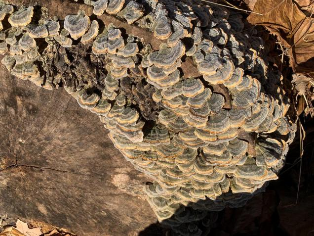 Trametes versicolor. By Richard Jacob-5