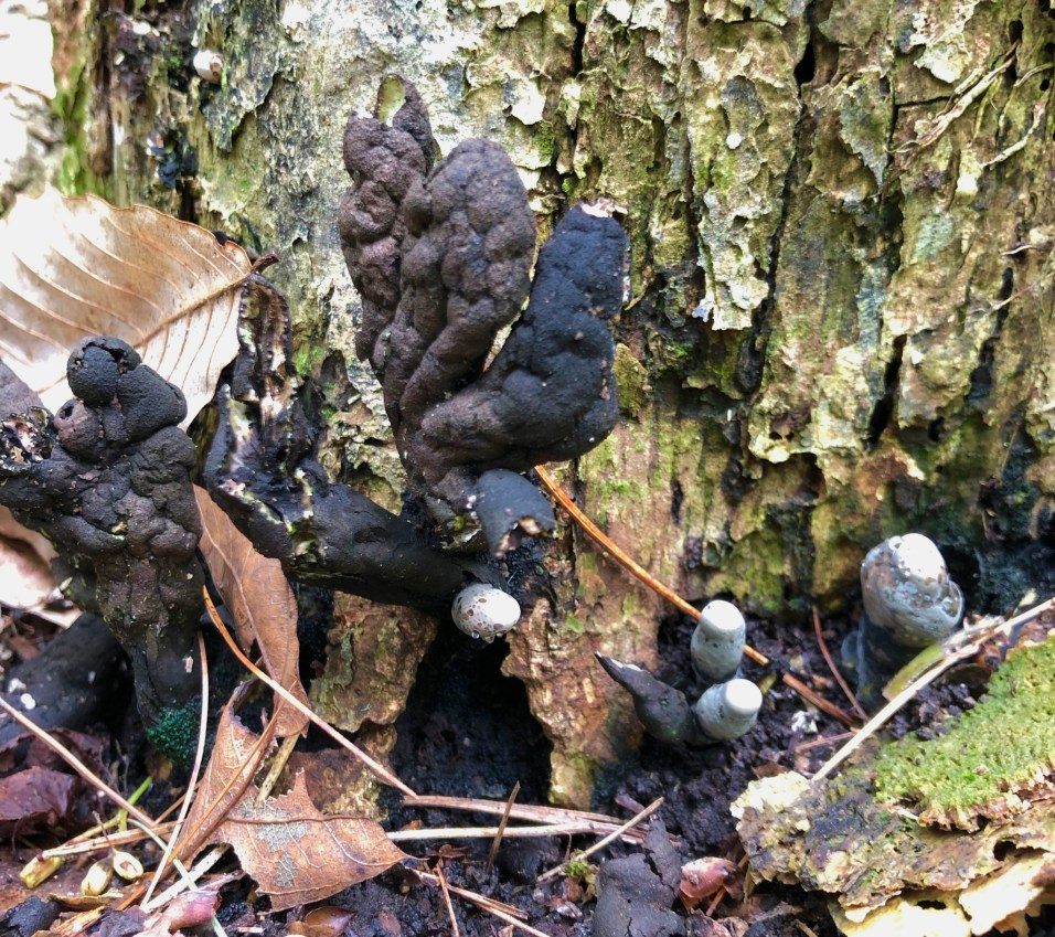 Xylaria polymorpha. By Fluff Berger