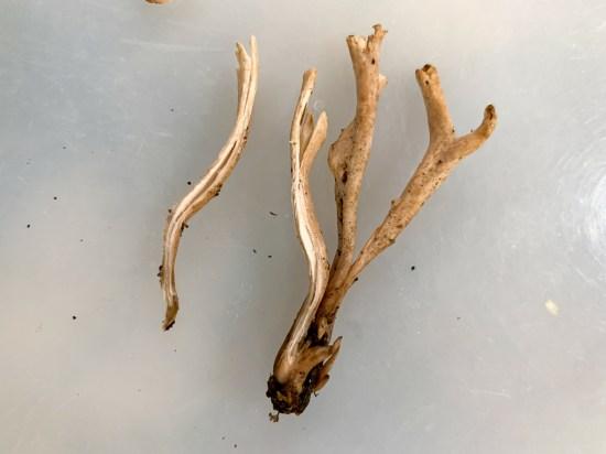 Clavaria fumosa. By Richard Jacob-2