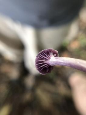 Laccaria amethystina. 2. By Erin Nihiser