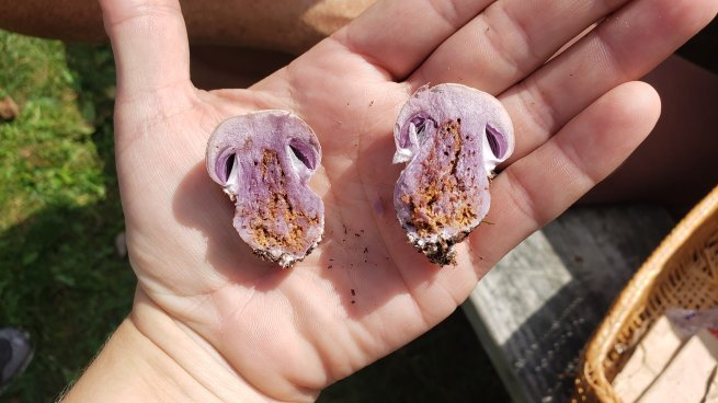 Cortinarius iodes. By Cara Barkley Coulter