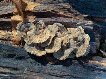 Trametes versicolor. By Richard Jacob-7
