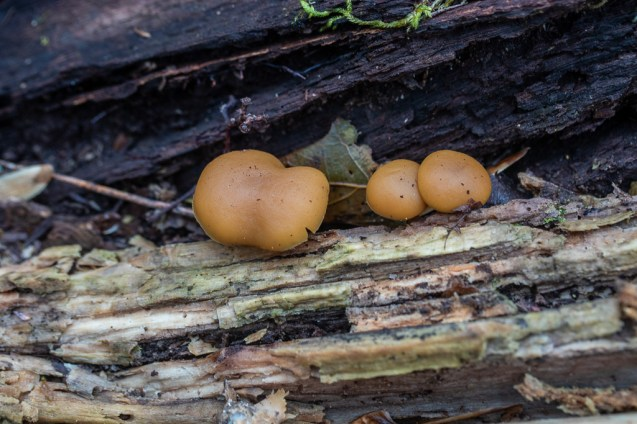 Galerina marginata. By Richard Jacob-4
