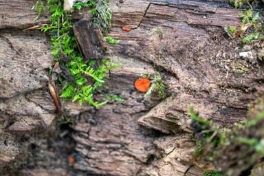 Scutellinia sp. By Richard Jacob