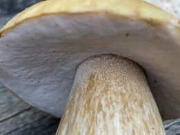Boletus edulis. By Richard Jacob