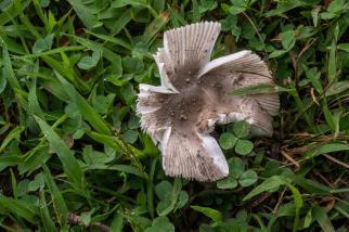 Amanita farinosa. By Richard Jacob-2