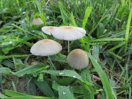 Cecily Franklin Parasola plicatilis