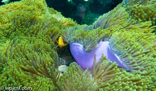 Maldivian Anemone and Clownfish - Park Hyatt Maldives