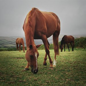 A brown horse grazing in a green field