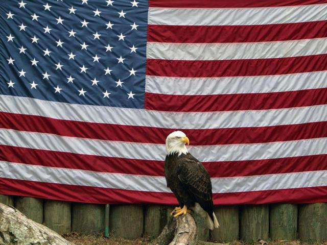 Eagle perched in front of an American Flag