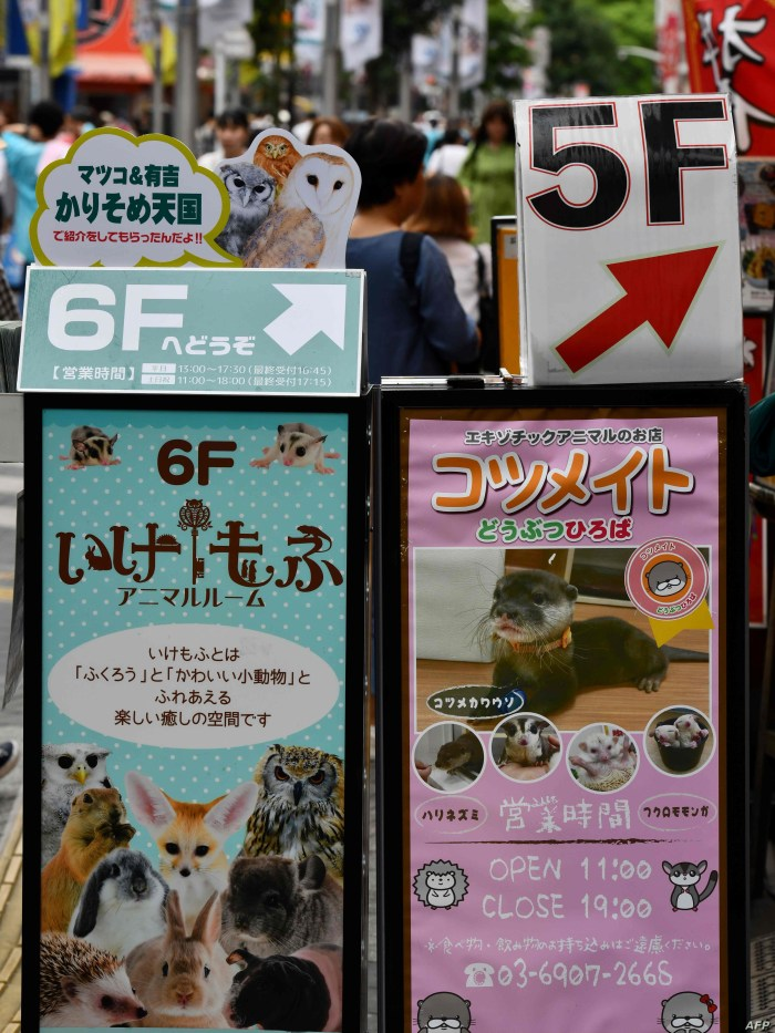 Promotional signboards for pet cafes featuring exotic animals, including otters (R), are seen on display at the Harajuku district in Tokyo on August 21, 2019. Social media are fuelling a burgeoning appetite for acquiring wild otters and other…