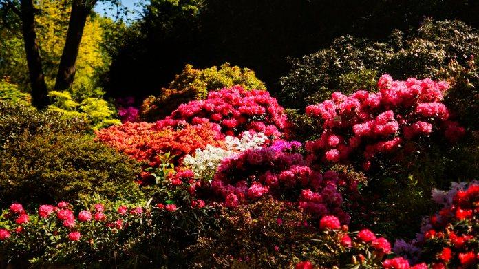różaneczniki wojsławice