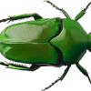 cetonid beetle 2