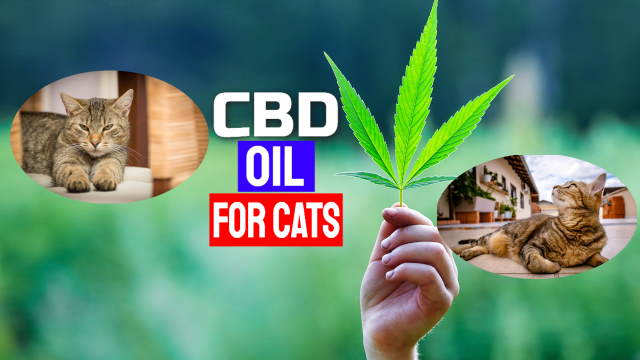 "Featured image shows two contented cats with the text image ""CDB oil for cats""."