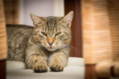 Image shows a contented tabby cat to illustrate the positive effect of CBD Oil on Cats.