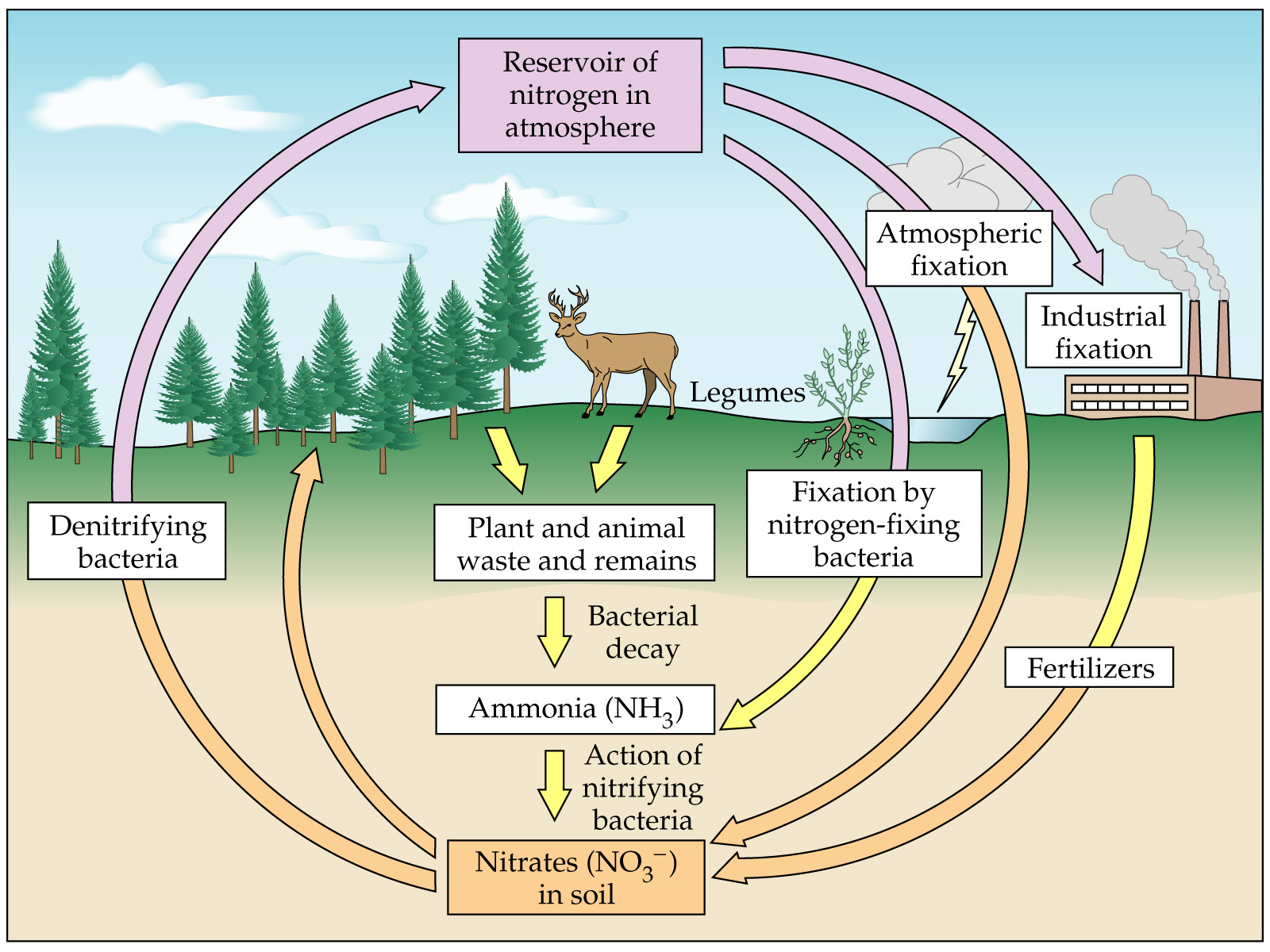 hight resolution of nitrogen cycle image
