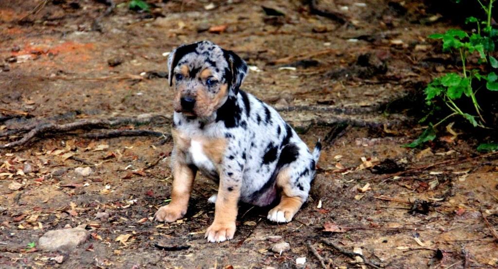 Catahoula Puppy