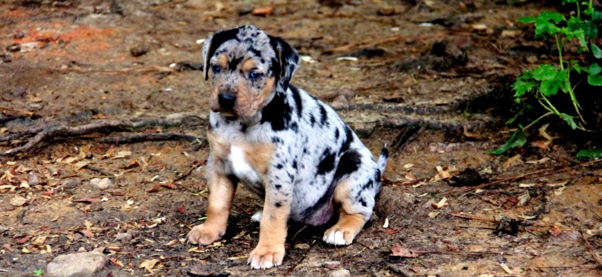 Catahoula Puppy | PHP object-oriented programming Dog class