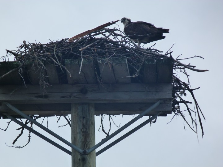 Osprey in nest on telegraph pole