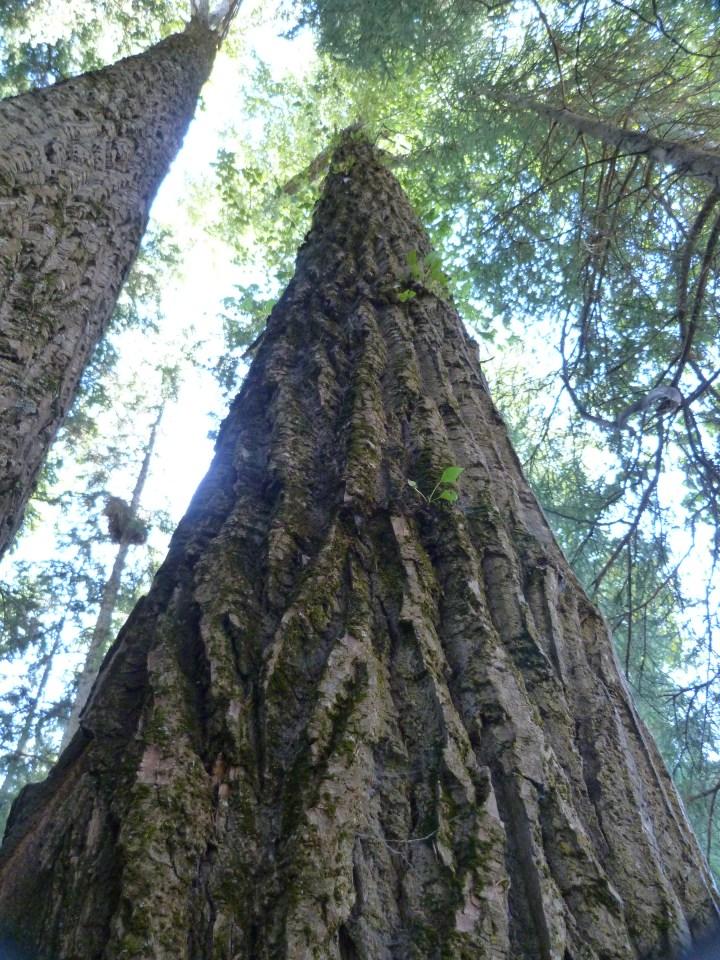 400 year old cottonwood trees