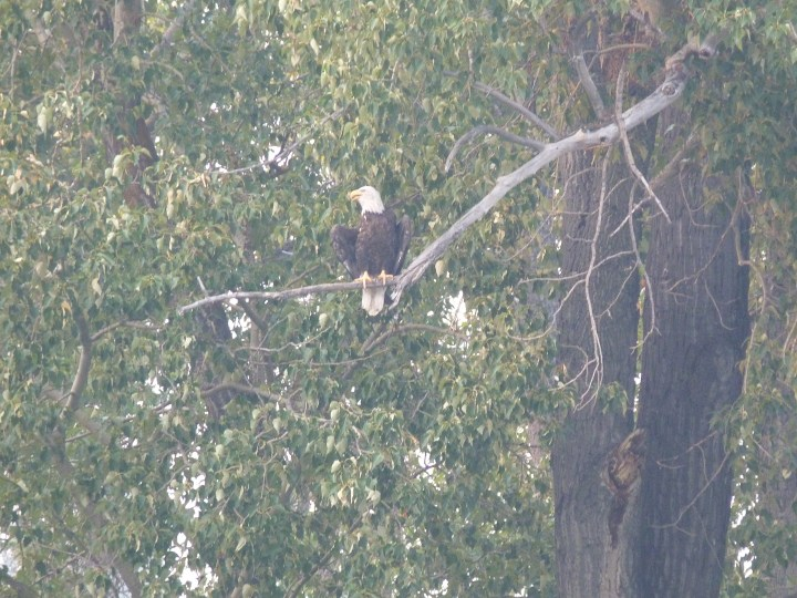 Bald eagle that was fishing near our campsite