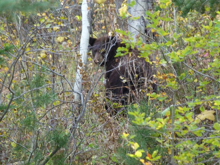 We saw our first black bear. It crossed the road in front of us and shot up the bank at great speed. It looked like quite a young one but luckily mum and dad were not around