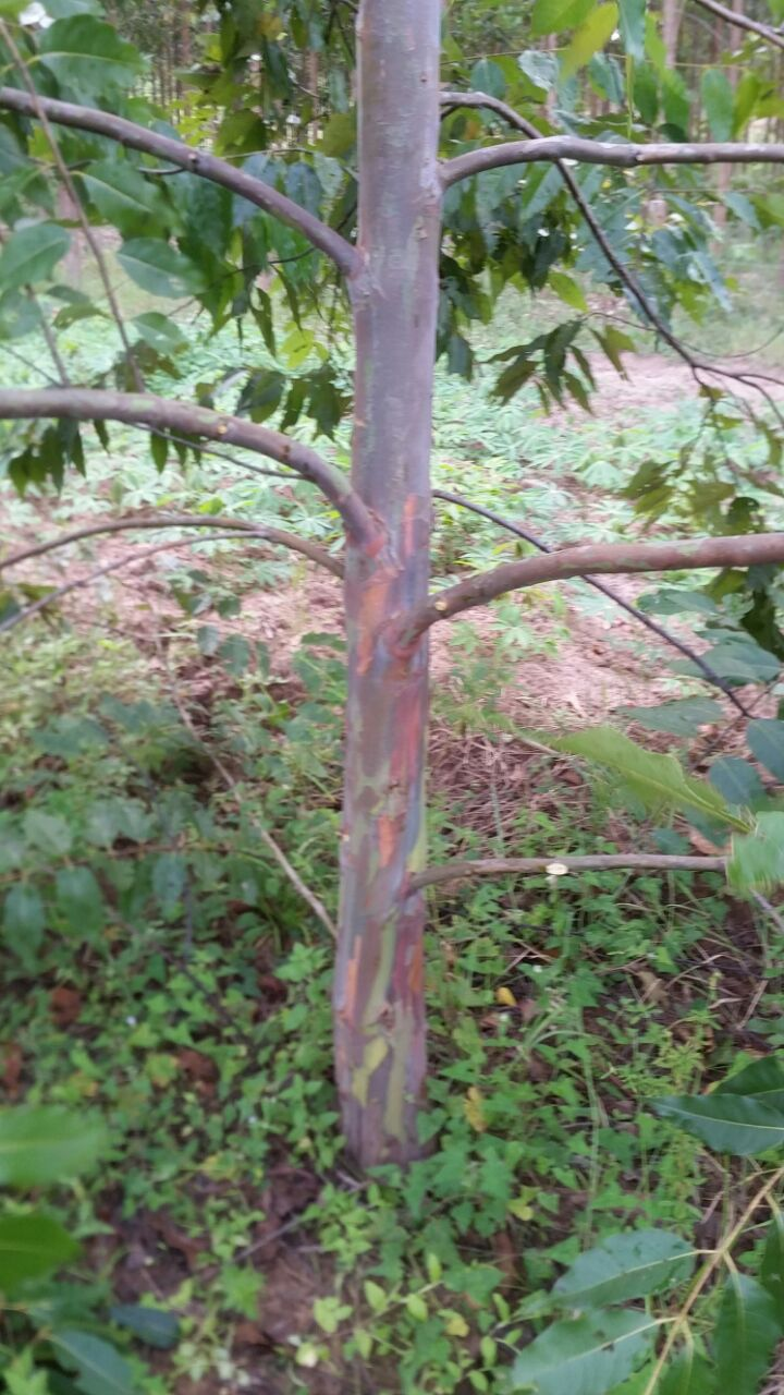 mudas-de-eucalipto-arco-iris