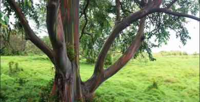 mudas de eucalipto arco iris