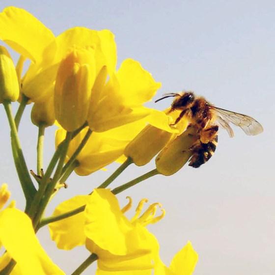 Honeybee on rapeseed