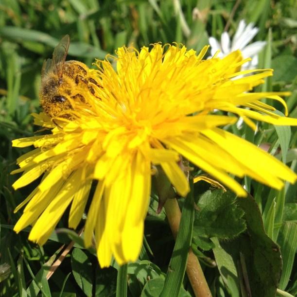 honeybee&dandelion