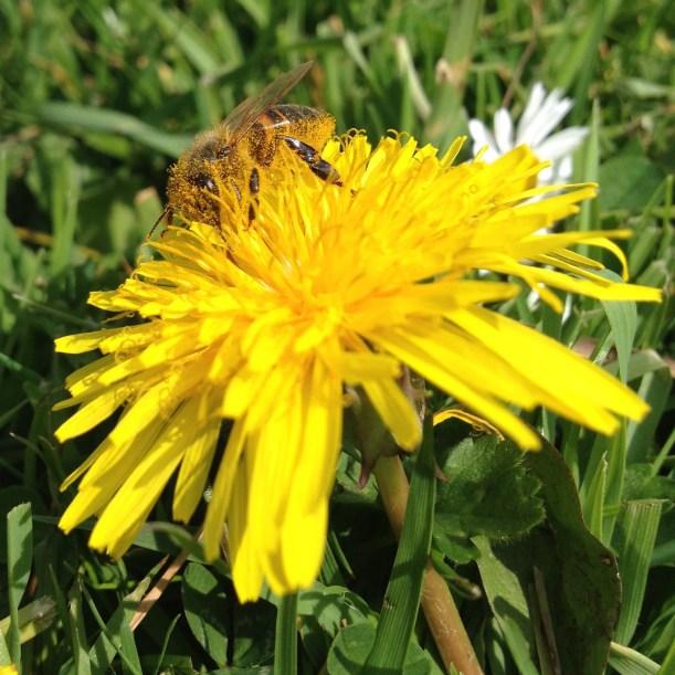 honeybee&dandelion1